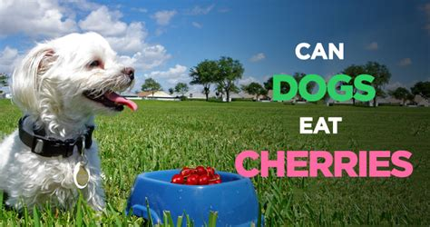 can dogs cherries can dogs eat cherries a tasty treat but is it safe for dogs
