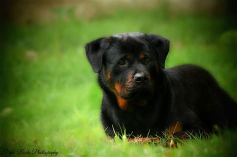 rottweiler wallpaper rottweiler wallpapers hd