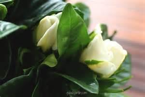 una gardenia en mi jard 237 n guia de jardin aprende a
