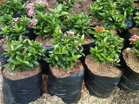 Jual Bibit Bunga Matahari Di Bogor jual pohon asoka jambon budidaya bunga asoka kebon kembang bogor