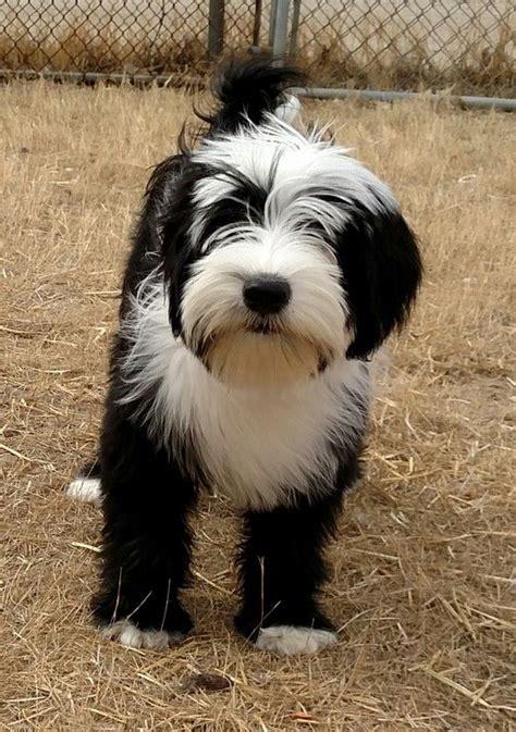 tibetan terrier puppies best 25 tibetan terrier ideas only on tibetan tibetan breeds and