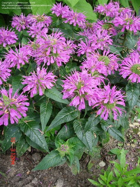 plantfiles pictures bee balm beebalm bergamot