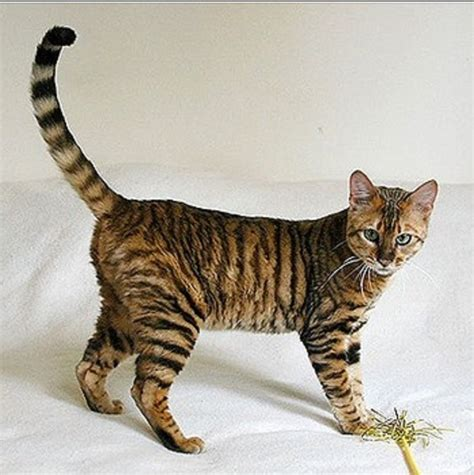 Special Cat Milk Kucing Longlife Growing Kitten 20 Gram 23 cats that the most unique fur patterns in the world