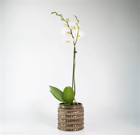 Orchid Planters Pots by White Moth Orchid In Celestial Planter Plant And Pot Nz