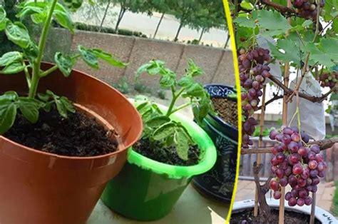 Tusukan Buah Pot Bunga menarik buah buahan ini dapat ditanam di balkon sebagai pot buah erabaru