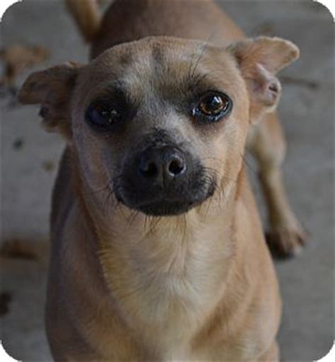 pug pinscher image miniature pinscher pug mix