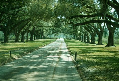 quercus specimen avenue of live oaks south carolina