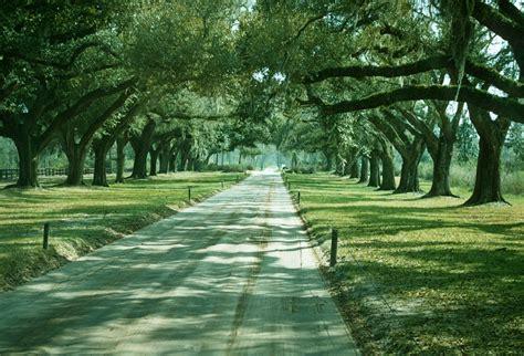 Quercus Specimen Avenue Of Live Oaks South Carolina South Carolina Landscape