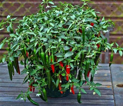 cara membuat zpt organik untuk tanaman cabe zpt yang diperlukan untuk pertumbuhan cabai cabe mediatani