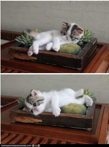 bonsai kitten cute 11 miles to cool page 2