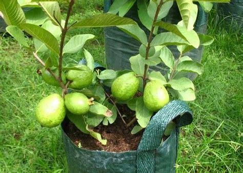 Benih Biji Jeruk Kalamondin Citrus Microcarpa 45 best images about tanbulot on gardens container gardening and pear trees