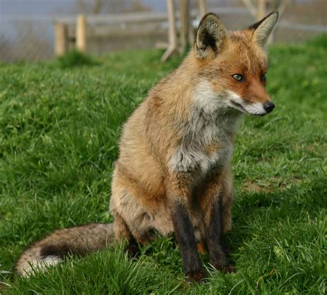 rescue a adopt a fox sponsor the rescue of uk wildlife wildlife aid foundation
