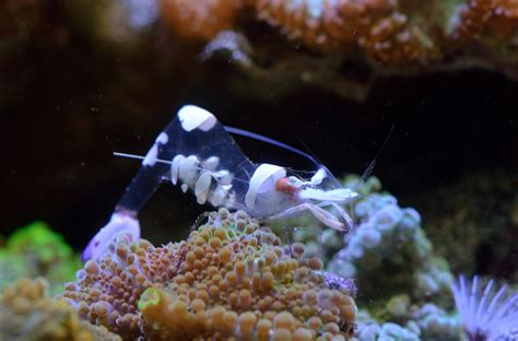 coral reef crustaceans from sea to papua books comical crustaceans for your coral cushions the