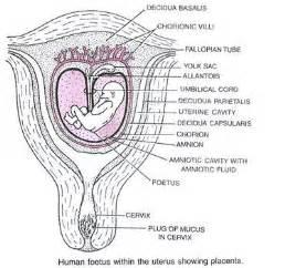 decidua basalis pregnancy notes on pregnancy and developmental disorders