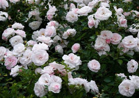 aspirin rose niedrige beetrose besondere blueten