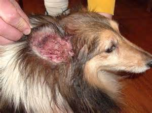 ear mites in dogs home remedy canine yeast infection home remedy thrush green books in