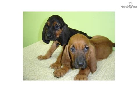 bloodhound puppies for free meet a bloodhound puppy for sale for 499 bloodhound 499