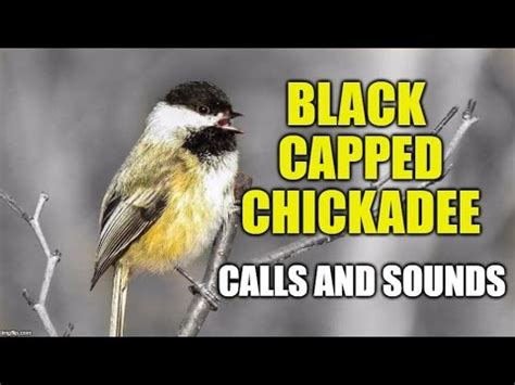 black capped chickadee calls and sounds fee bee call