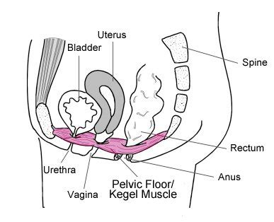your pelvic floor muscles pelvic exercises kegel8