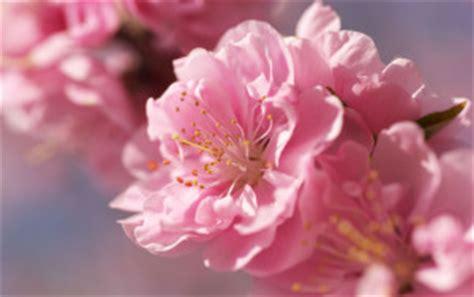 sfondi fiori di pesco dillo con un fiore aly no panic