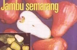 Benih Jambu Air Madu maklumat pertanian ternakan tanaman perikanan dan