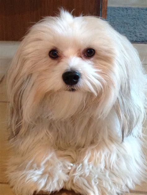 Do Havanese Shed A Lot by 1000 Images About Of Havanese And Other Dogs