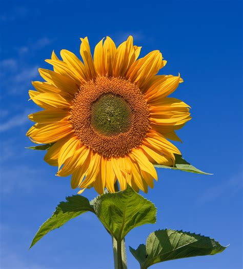 file sunflower sky backdrop jpg wikipedia
