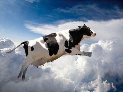 mucche volanti pericolo caduta mucche incidente sfiorato per questa coppia