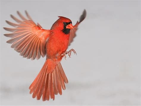 cardinal flying into window wallpaper