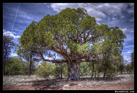 bodhi tree www pixshark com images galleries with a bite