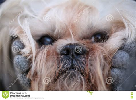 muzzle for shih tzu image of fluffy muzzle shih tzu up stock photo image 70584362