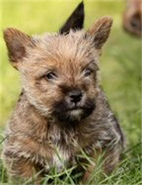 Norwich Terrier Shedding by Norfolk Terrier Non Shedding