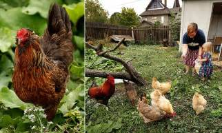 Backyard Chickens Going Vacation Backyard Chicken Trend Leads To More Disease Infections