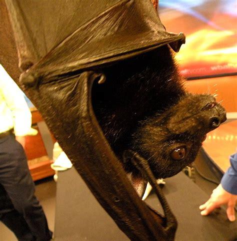fruit bat pet i pet a fruit bat tepper