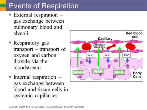 gas exchange bing images pulmonary gas exchange and transport bing images
