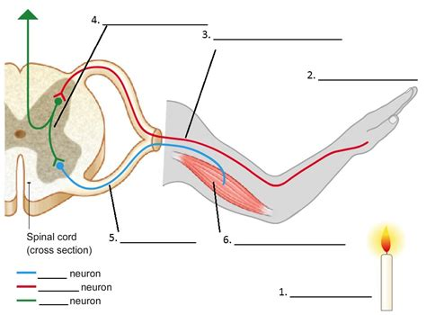 diagram of the reflex arc simple reflex arc diagram simple cell nucleus diagram