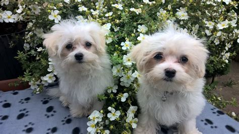shih tzu puppies for sale stoke on trent maltese shih tzu puppies stoke on trent staffordshire pets4homes