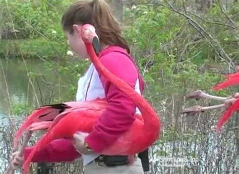 how do flamingos get their pink color caribbean flamingo louis zoo