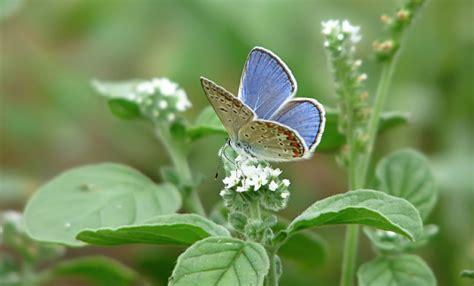 Wdd Tunik Kupu Kupu Putih 25 gambar kupu kupu wallpaper kupu kupu cantik terindah langka