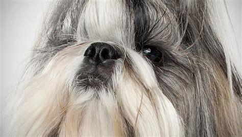 shih tzu animal planet pekingese breed guide breeds picture