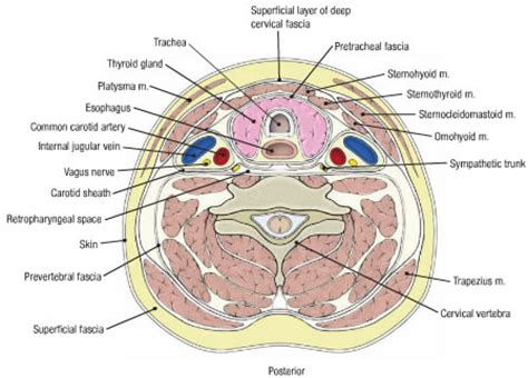 neck cross sectional anatomy 301 moved permanently