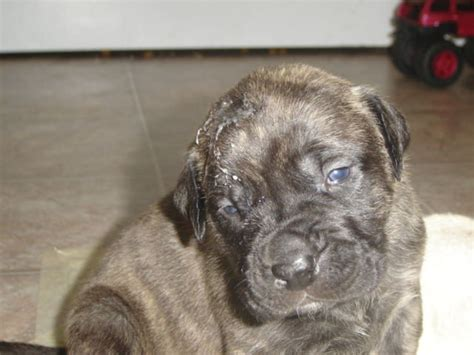 mastiff puppies rescue mastiff puppies for adoption reanimators
