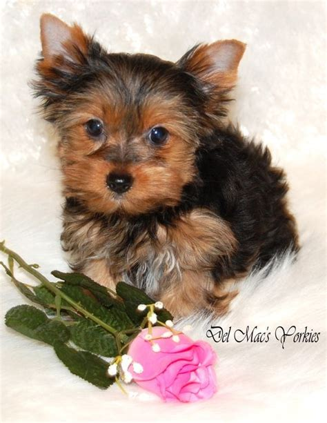 yorkie akc puppies for sale puppies for sale macs yorkies akc terrier puppies for sale