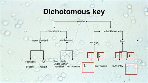 dichotomous key template dichotomous key flowchart flowchart in word