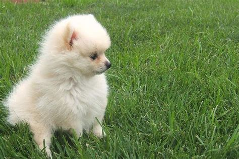 pomeranian shih tzu shih tzu and pomeranian mix everything you need to