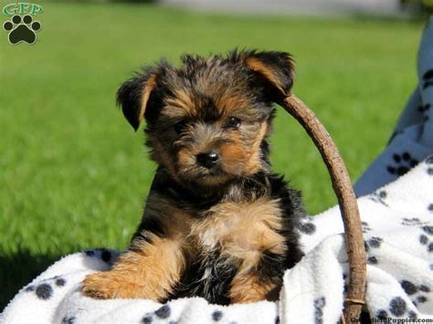 yorkie chon 17 best images about puppy on poodles puppys and yorkie