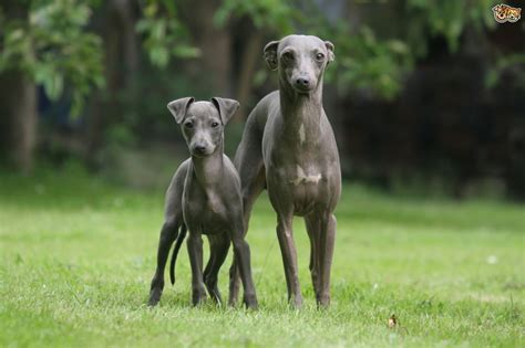 grey hound italian greyhound breed information buying advice photos and facts pets4homes
