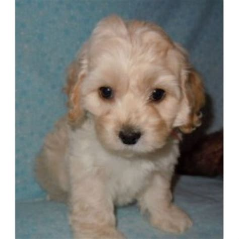 cockapoo puppies for sale in sc barmor s ny and sc cockapoo breeder in greenville south carolina