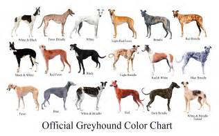 greyhound colors the greyhound brief history of the breed the happy