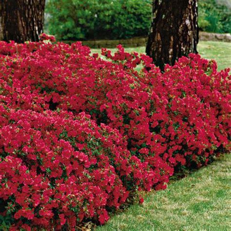 azalea bush colors 14 beautiful ideas to landscape with shrubs shelterness
